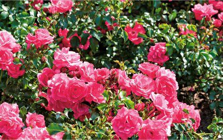 Rosenarten Blumen Risse